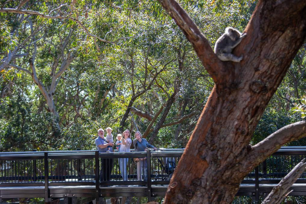 KOALA SPOTTING: The various walks around the Sanctuary offer chances to glimpse the koalas who call it home. Picture: SUPPLIED.